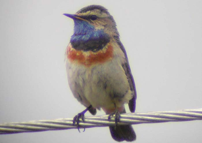 (Red-spotted) Bluethroat