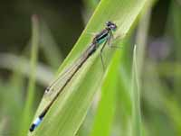 Blue-tailed Damselfy