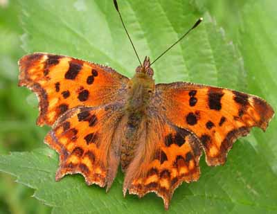 Comma (Polygonia c-album) �  Fraser Simpson