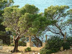 Formentor Pines