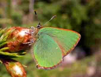 Green Hairstreak, Changue, Ayrshire, 2004.