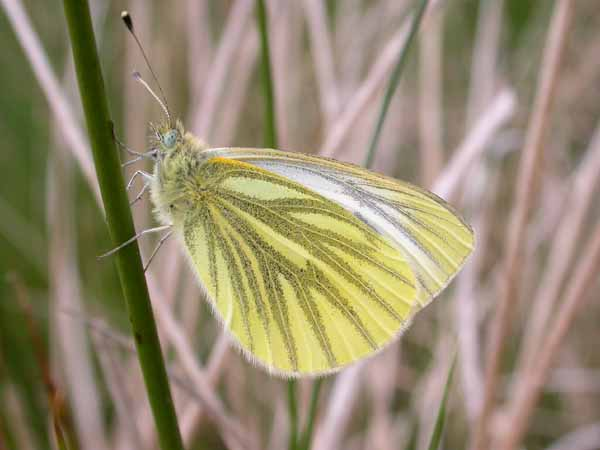 Green-veined White (Pieris napi) �  Fraser Simpson
