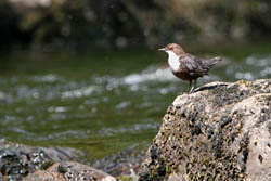 Dipper on the River Ardle