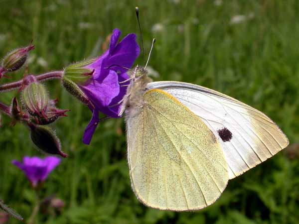 Large White (Pieris brassicae) �  Fraser Simpson