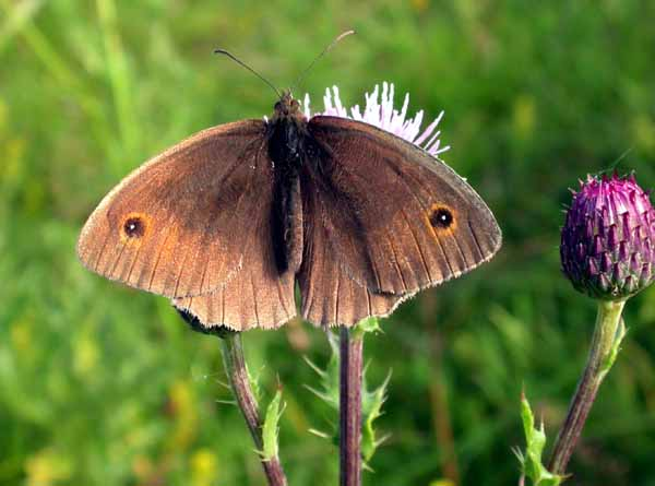 Meadow Brown (Maniola jurtina) �  Fraser Simpson