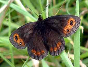 Scotch Argus, Changue, Ayrshire, 2002.