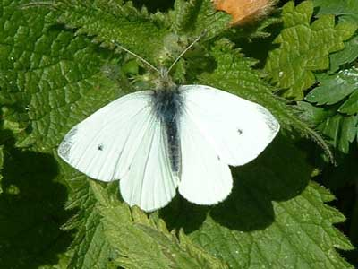 Small White (Pieris rapae) �  Fraser Simpson