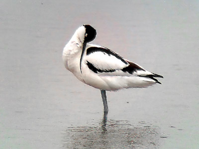 Phonescoped Avocet ©2006 Fraser Simpson