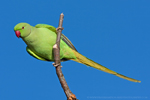 Ring-necked Parakeet © Fraser Simpson