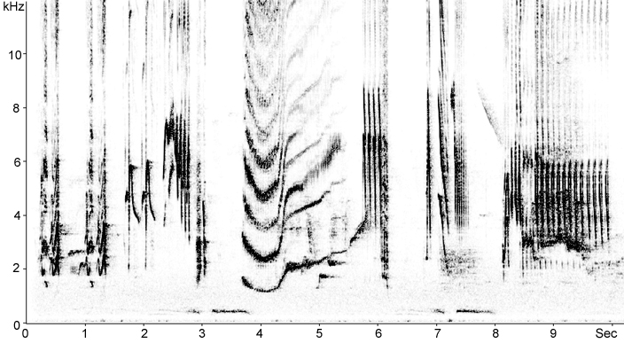 Sonogram of Blackbird song