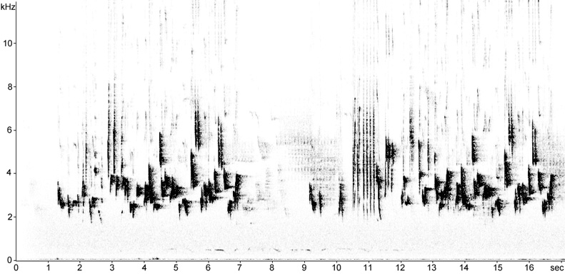 Sonogram of Backcap song