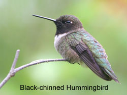 Black-chinned Hummingbird © 2006  F. S. Simpson
