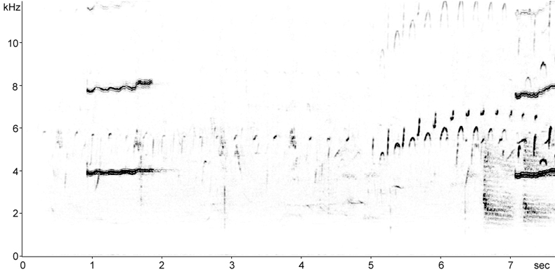 Sonogram of Black Guillemot call and song