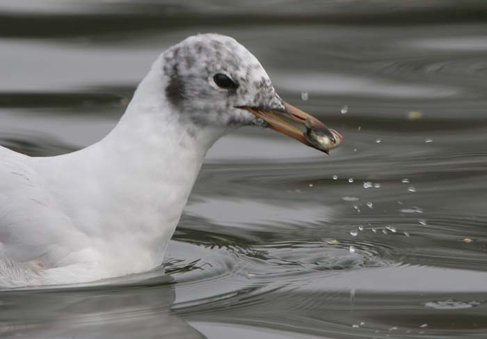 Black-headed Gull © 2005  F. S. Simpson