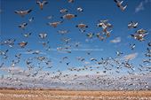 Snow & Ross's Geese. Bosque del Apache