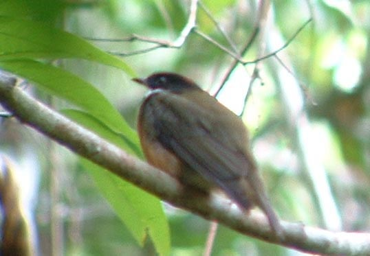 Flame-crowned Manakin