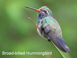 Broad-billed Hummingbird © 2006  F. S. Simpson