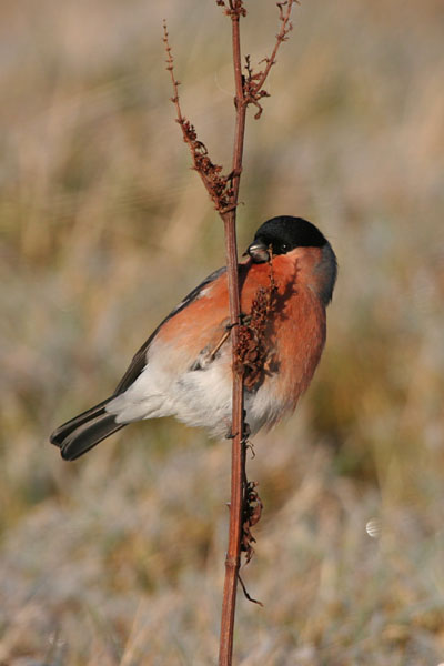 Bullfinch ©2005 Fraser Simpson