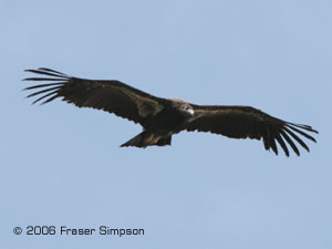 California Condor ©2006 Fraser Simpson