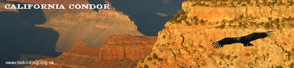 California Condor, Grand Canyon ©2006 Fraser Simpson