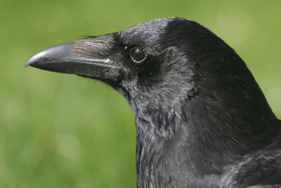 Carrion Crow © 2005  F. S. Simpson