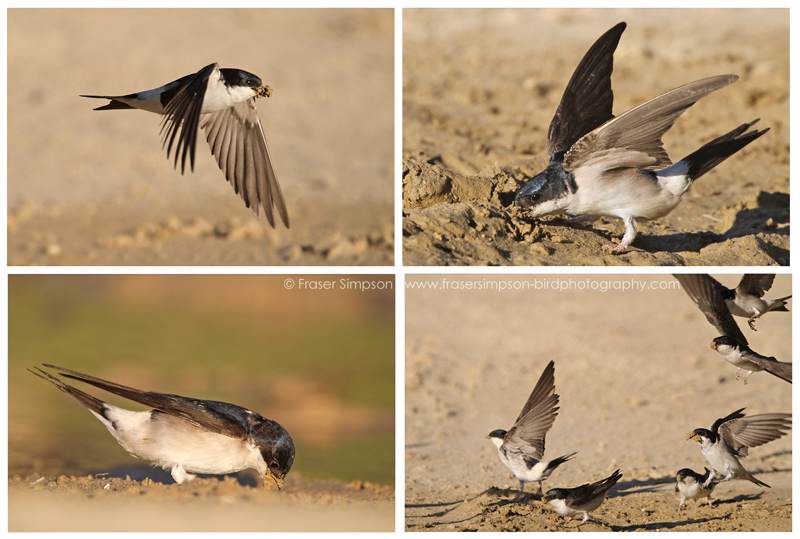 House Martins collecting mud, Zahara de los Atunes © Fraser Simpson