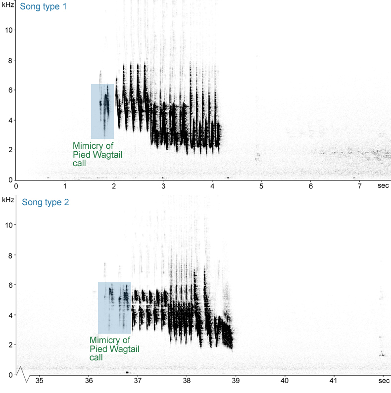 Sonogram of Chaffinch song with Pied Wagtail mimicry