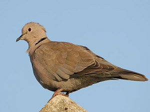Collared Dove ©Fraser Simpson