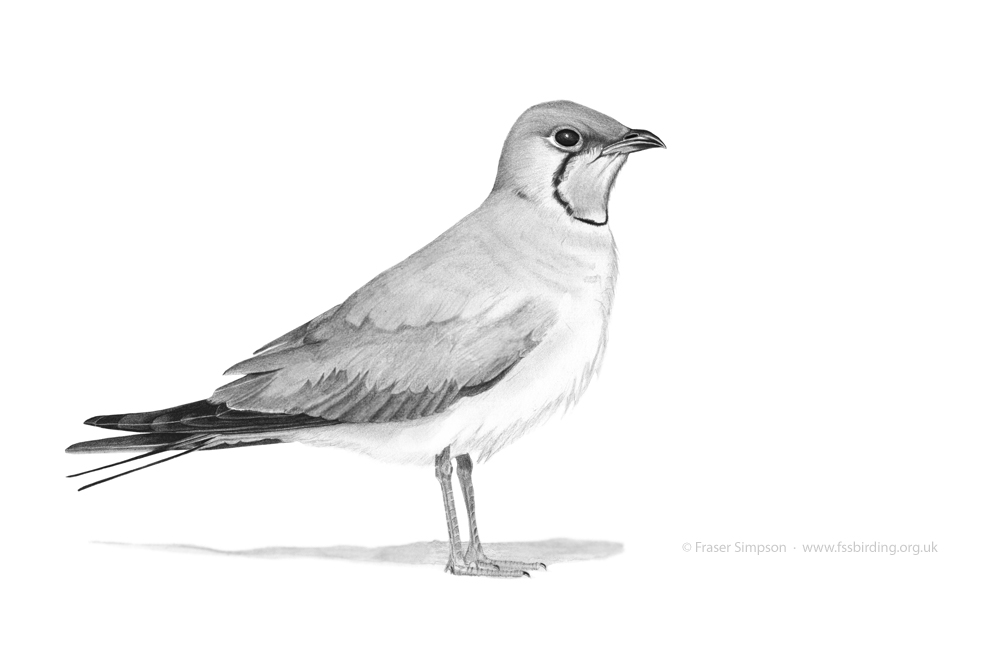 Collared Pratincole drawing © Fraser Simpson