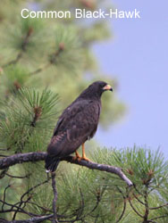 Common Black-Hawk © 2006  F. S. Simpson