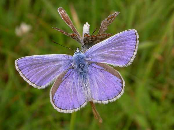 Common Blue (Polyommatus icarus) �  Fraser Simpson
