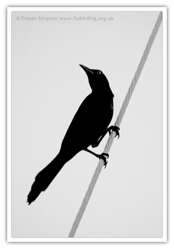 Common Grackle  (Quiscalus quiscula) � 2010 Fraser Simpson