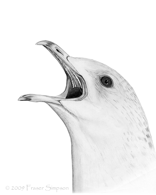 Common Gull drawing © Fraser Simpson