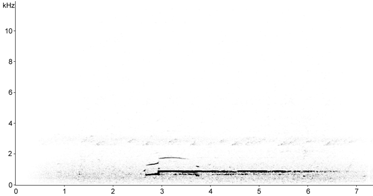 Sonogram of Common Loon calls