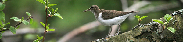 Common Sandpiper �2005 Fraser Simpson