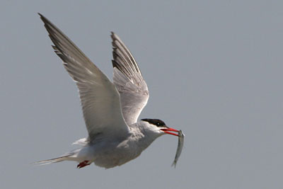Common Tern, Porto Lagos © 2005  F. S. Simpson
