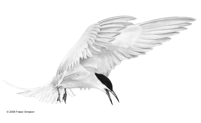 Common Tern drawing © Fraser Simpson