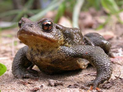 Common Toad (Bufo bufo), Valle de Ojén