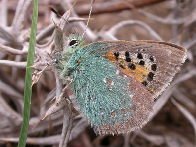 Provence Hairstreak (Tomares ballus), Valle de Ojén