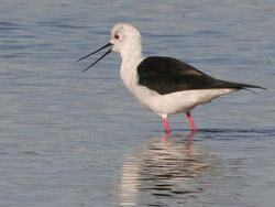 Black-winged Stilt (Himantopus himantopus), Marismas de Barbate