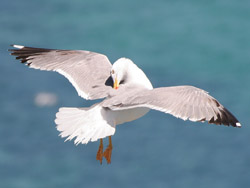 Yellow-legged Gull (Larus michahellis), Barbate cliffs