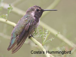 Costa's Hummingbird © 2006  F. S. Simpson