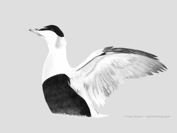 Common Eider drawing © Fraser Simpson