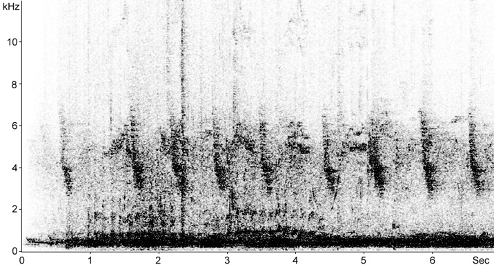 Sonogram of Feral Pigeon calls