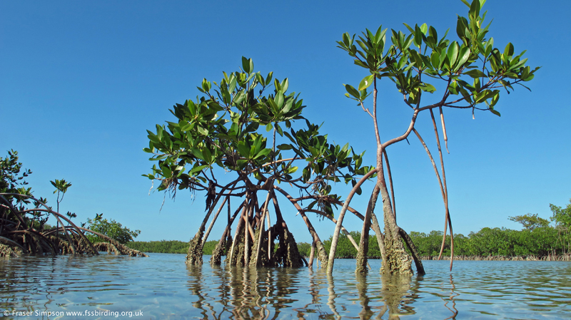 Mangroves, LowerSugarloaf Key, © Fraser Simpson 2014