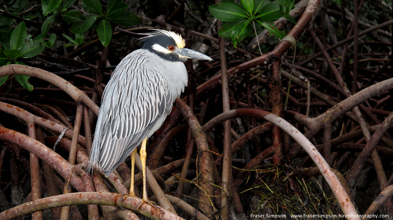 Yellow-crowned Night-Heron (Nyctanassa violacea) © Fraser Simpson 2014