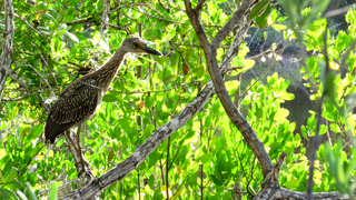 Yellow-crowned Night-Heron (Nyctanassa violacea) � Fraser Simpson 2014