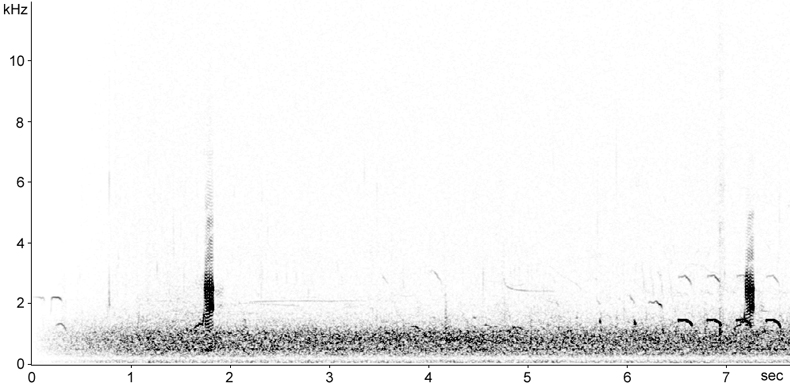 Sonogram of male Gadwall calls
