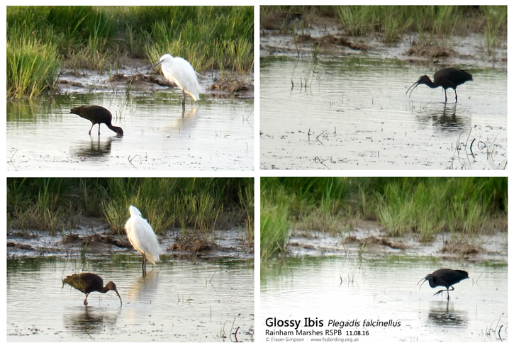 Glossy Ibis (Plegadis falcinellus), Rainham Marshes RSPB, Phonescoped 11 August 2016 � Fraser Simpson  �  www.fssbirding.org.uk