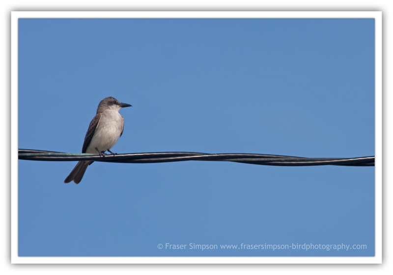 Gray Kingbird  (Tyrannus dominicensis) � 2010 Fraser Simpson